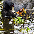 American Coot And Chick by Kate Brown
