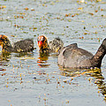 American Coot And Chicks by Natural Focal Point Photography