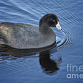 American Coot by Carrie Cranwill