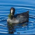 American Coot by Jane Luxton