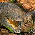 American Crocodile by Millard Sharp