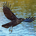 American Crow Flying Over Water by Anthony Mercieca