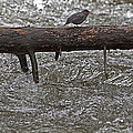 American Dipper   #7963 by J L Woody Wooden