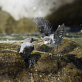 American Dipper Feeding Young Costa Rica by Konrad Wothe
