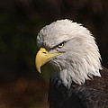 American Eagle by Andrea Wright