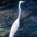 American Egret I by Buddy Mays