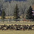 American Elk   #4305 by J L Woody Wooden