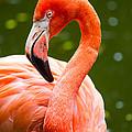 American Flamingo Jacksonville Zoo Florida by Dawna Moore Photography