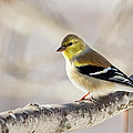 American Goldfinch by Bill Wakeley