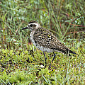American Golden Plover by Anthony Mercieca