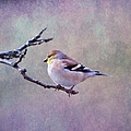 American Goldfinch 2 by Deena Stoddard