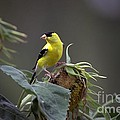 American Goldfinch 5 by Randy Matthews