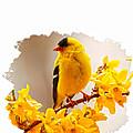 American Goldfinch Branch Of Forsythia by Randall Branham