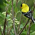 American Goldfinch by Bruce Morrison
