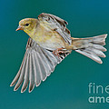 American Goldfinch Hen In Flight by Anthony Mercieca