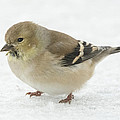 American Goldfinch In The Snow by Jan M Holden