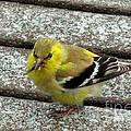 American Goldfinch by Janette Boyd