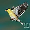 American Goldfinch Male-flying by Anthony Mercieca