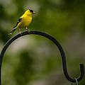 American Goldfinch Perched On A Shepherds Hook by  Onyonet  Photo Studios