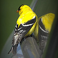 American Goldfinch by Rob Andrus