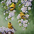 American Goldfinches And Apple Blossoms by Crista Forest