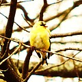 American Goldfinch by Stacey Pollio