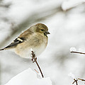 American Goldfinch Up Close  by Jan M Holden