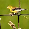 American Goldfinch by William Fox