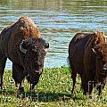 American Gothic Bison Version by Stuart Gordon