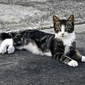 American Grey Tiger Stripe Kitten Portrait by Sally Rockefeller
