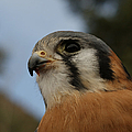 American Kestrel 2 by Ernie Echols