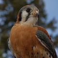 American Kestrel 4 by Ernie Echols
