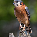 American Kestrel by Dale Kincaid