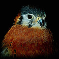 American Kestrel Digital Art by Ernie Echols