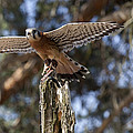 American Kestrel by Jack R Perry