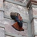 American Kestrel Perched On The Side Of A Building by Robert Hamm