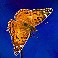 American Lady Butterfly Blue Square by Karen Adams