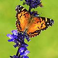 American Lady Butterfly by Carolyn Derstine