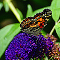 American Lady Butterfly by Chris Tennis
