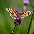 American Lady Butterfly In Garden by Karen Adams