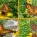 American Lady Butterfly - Vanessa Virginiensis by Mother Nature
