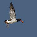 American Oystercatcher In Flight by Susan Candelario