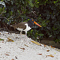 American Oystercatcher by Sally Weigand