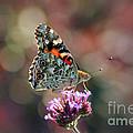 American Painted Lady Butterfly 2014 by Karen Adams