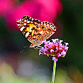 American Painted Lady Butterfly Pink by Karen Adams