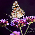 American Painted Lady Butterfly Purple Background by Karen Adams