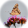 American Painted Lady Butterfly White Square by Karen Adams
