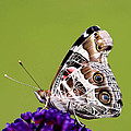 American Painted Lady by Marty Fancy