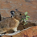 American Pika At Harts Pass by Tom Reichner