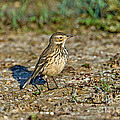 American Pipit by Anthony Mercieca